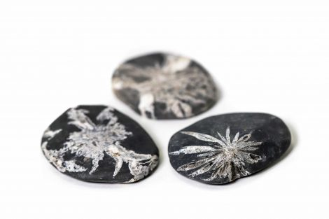 Chrysanthemum Palm Stone -Crystals -Crystal Dreams