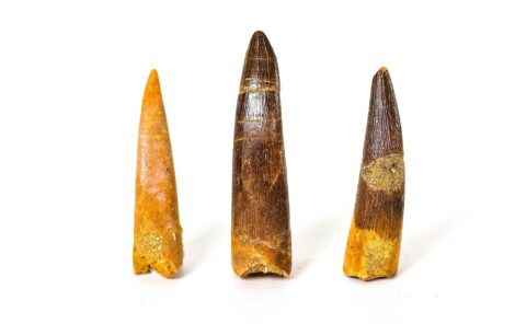 Plesiosaurus Teeth Fossil 2