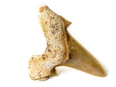 Shark Tooth fossil- Crystal- Crystal Dreams