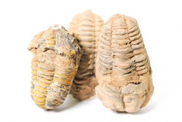 Trilobite fossil 3