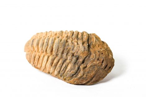 Trilobite fossil - Crystal Dreams